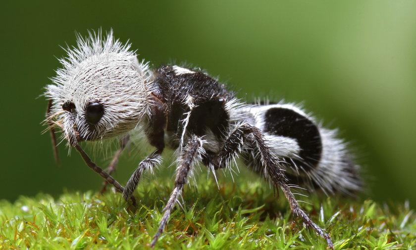 Mrówka panda
