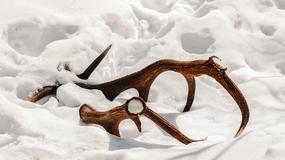 W lasach Podkarpacia jelenie zrzucają poroże