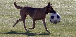 Mecz na Mundialu przerwany przez atak wilka? Polacy stawiają na to pieniądze!