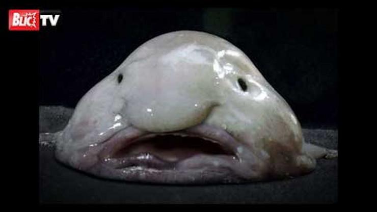 """I riba čiji latinski naziv glasi """"Psychrolutes marcidus"""" našla se među kandidatima"""