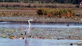Jezioro Drużno (Druzno) - perła Żuław, jedno z najbardziej wyjątkowych jezior w Polsce zatrute; trwa śledztwo