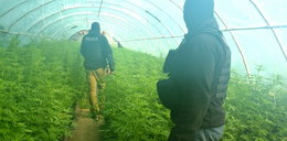 Wielka plantacja marihuany pod folią. Ponad 1700 krzaków!