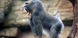 Co? Małpy mają swoje gangi!
