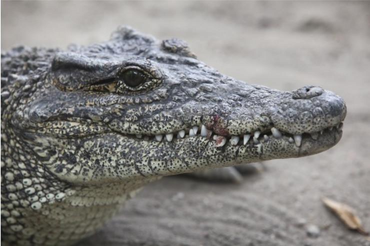 aligator Z Loncarevic