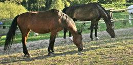 Zaskakujące wyniki badań na koniach