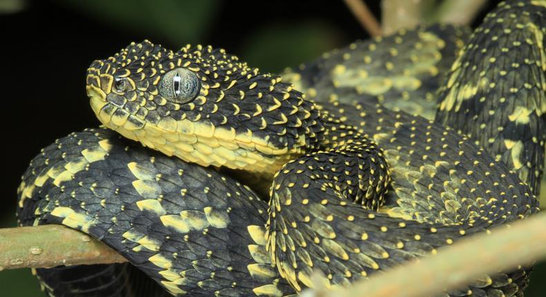 Mt Kenya bush viper. (Fiveprime)