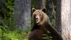 Policja w Ust-Ilimsku uratowała turystów przed niedźwiedziem, którego skusił barszcz
