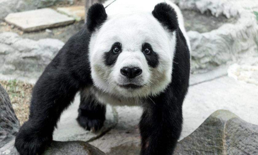 Panda zadowolona z opadów śniegu