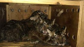 Na lotnisku w Libanie znaleziono pudło z trzema tygrysami. Leżało tam tydzień