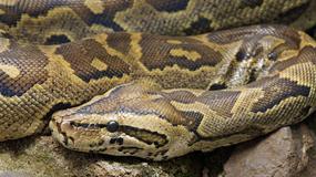 Rolnicy zabili węża, myśląc, że zjadł im cielę. Oniemieli, gdy zobaczyli, co miał w brzuchu