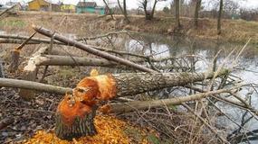 Nysa: Bobry niszczą drzewa. Będzie zgoda na odłowienie?