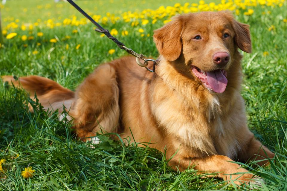 8. Nova scotia duck tolling retriever