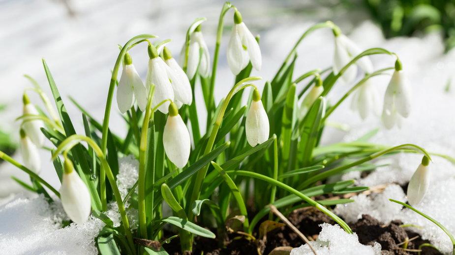 Przebiśniegi to jedne z najbardziej rozpoznawalnych roślin zwiastujących wiosnę - Nitr/stock.adobe.com