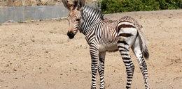W zoo urodziła się malutka zebra
