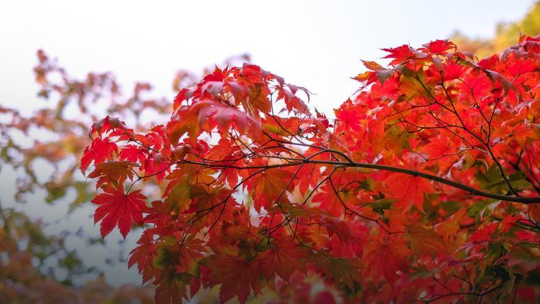 Fantastyczny Klon czerwony - uprawa, choroby, odmiany ozdobne - Dom HB88