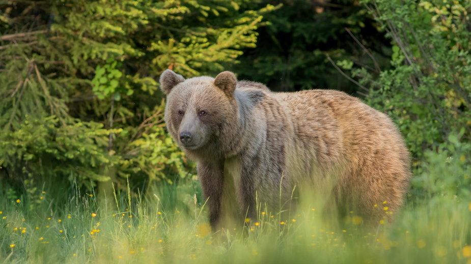 Słowackie służby zabiły niedźwiedzicę z Tatr