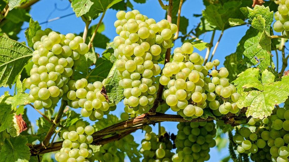 Winogrona można przycinać wiosną i jesienią - Couleur/pixabay.com