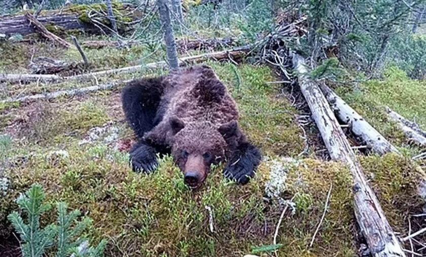 Horror w parku narodowym. 16-latek został rozszarpany przez niedźwiedzia.