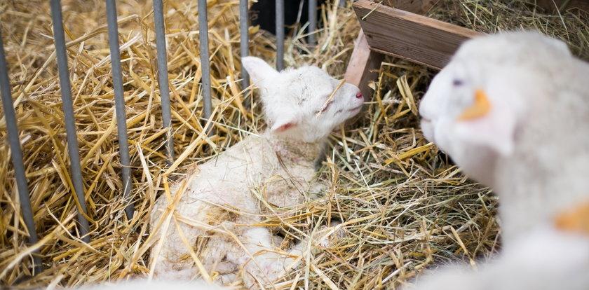 Owieczka urodziła się podczas wystawy