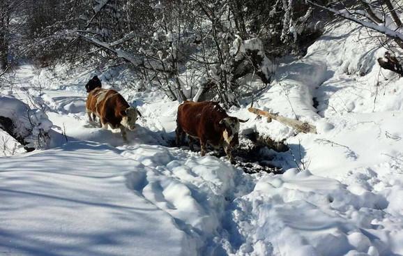 Ugroženo 4.000 grla stoke na Goliji
