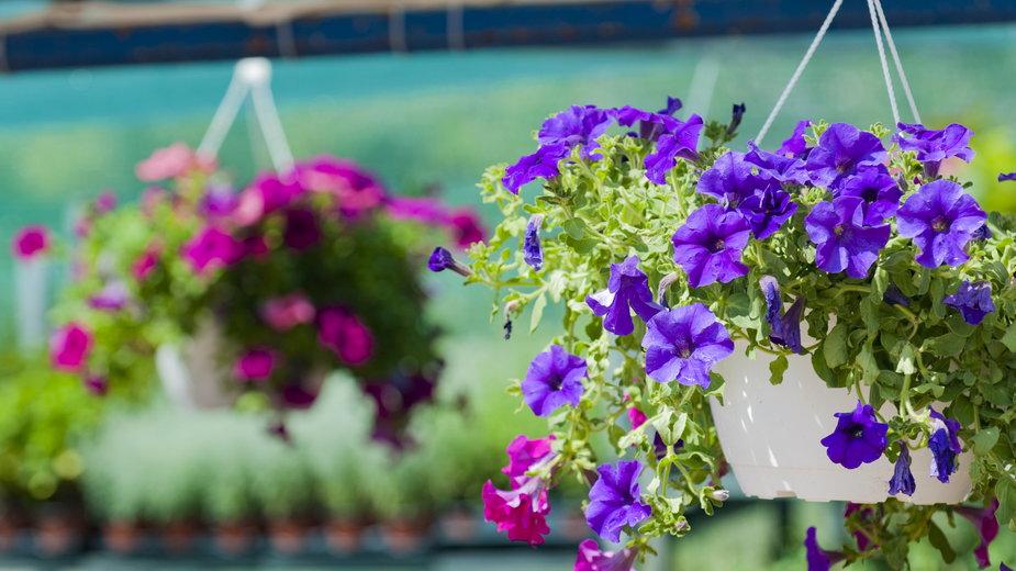 Surfinie doskonale sprawdzają się na tarasie i balkonie - araelf/stock.adobe.com