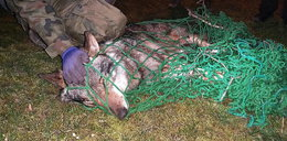 Wilk wpadł w sidła kłusowników. Umierał w potwornych męczarniach