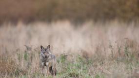 Wilk zaatakował dwoje dzieci w Bieszczadach. Odstrzelono go
