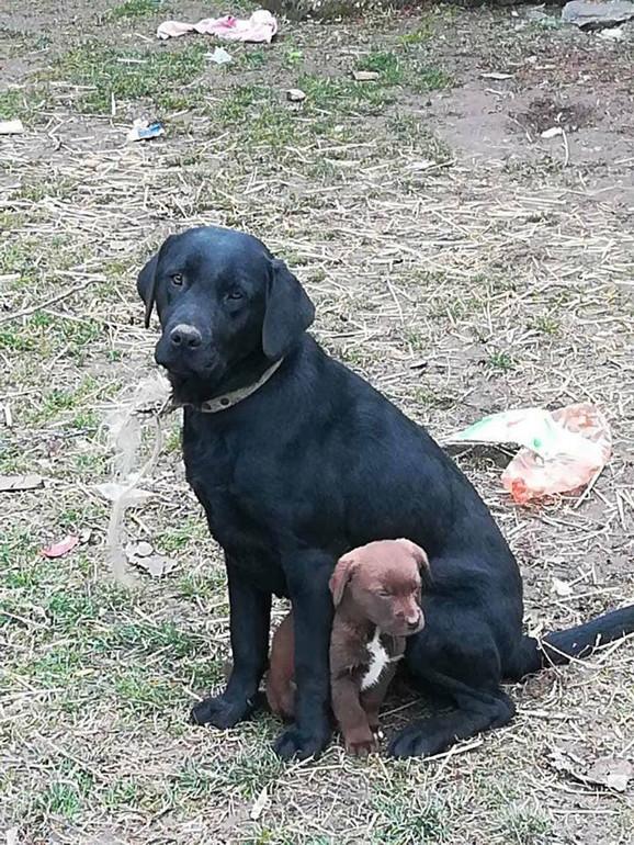 Ženka labradora koja je ubijena iimala je dvomesečno štene
