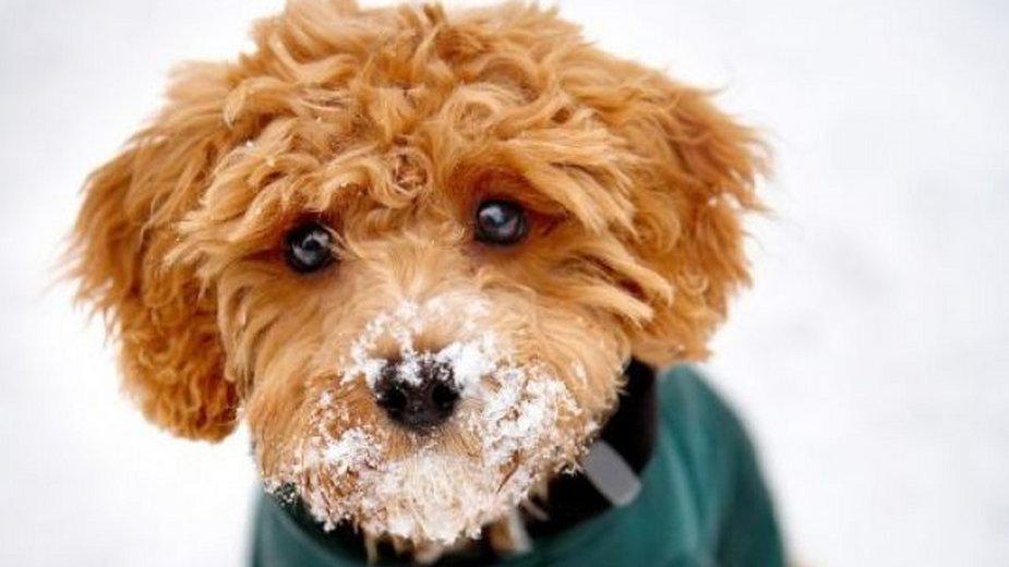 Psy hybrydowych ras często przypominają z wyglądu pluszowe zabawki