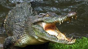Centymetry od śmierci! Krokodyl zaatakował przewodnika