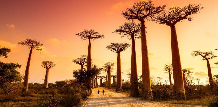 Co się dzieje!? Z nieznanych przyczyn umierają największe drzewa. Naukowcy w szoku
