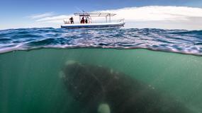 Niezwykłe zdjęcie Justina Hofmana - wieloryb obserwuje łódź czyli nurkowanie z wielorybami na półwyspie Valdes w Argentynie