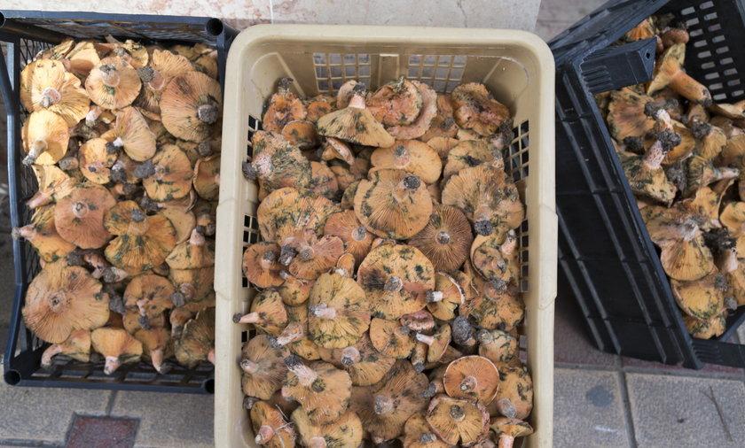 Podkarpacie rumuńscy grzybiarze przyjeżdżają na zbiór przemysłowy.