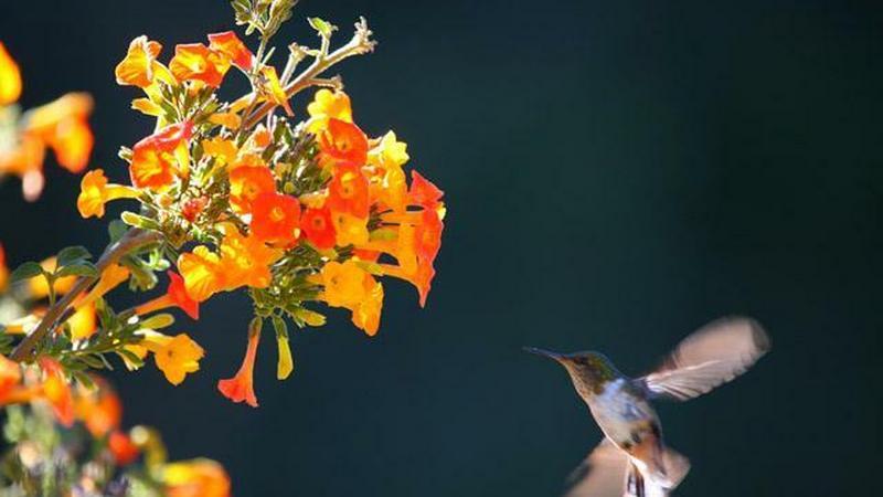 Koliber opodal San Gerardo de Dota