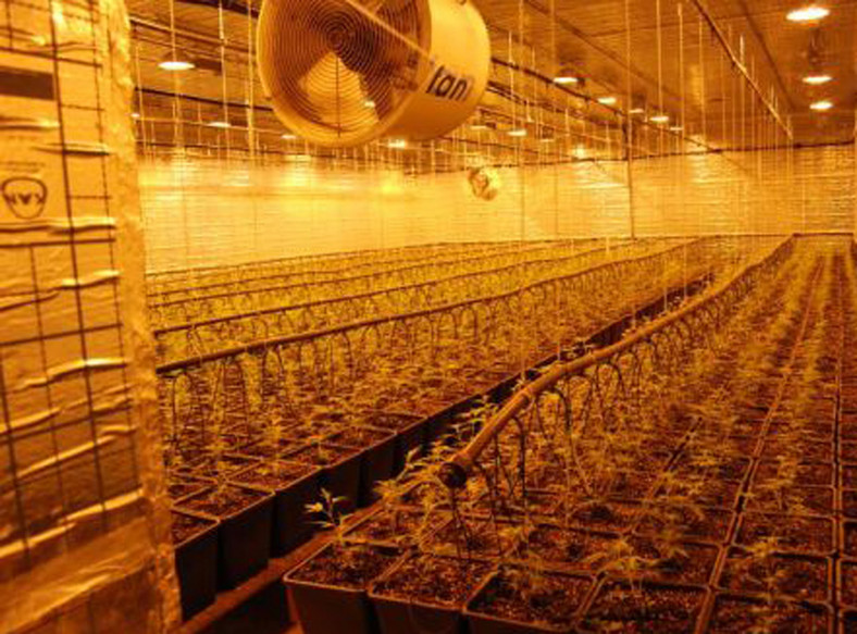 Ogromne plantacje marihuany zlikwidowane