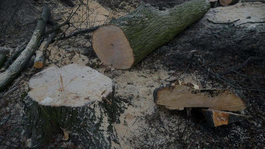 Wycięte drzewa w dawnym Parku Steffensów