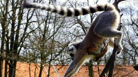 We wrocławskim zoo urodziło się sześć lemurów