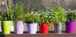 Najlepsze zioła do uprawy na balkonie