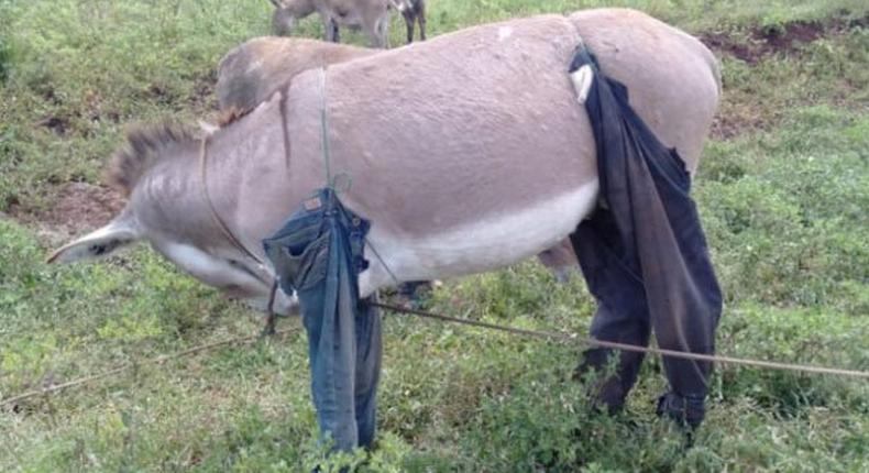 Donkey in trousers(Nation)