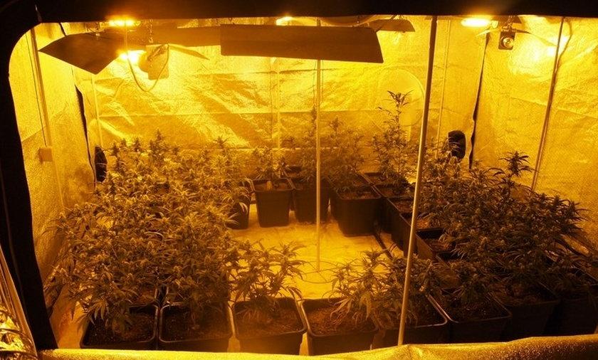 Zlikwidowana plantacja narkotykow