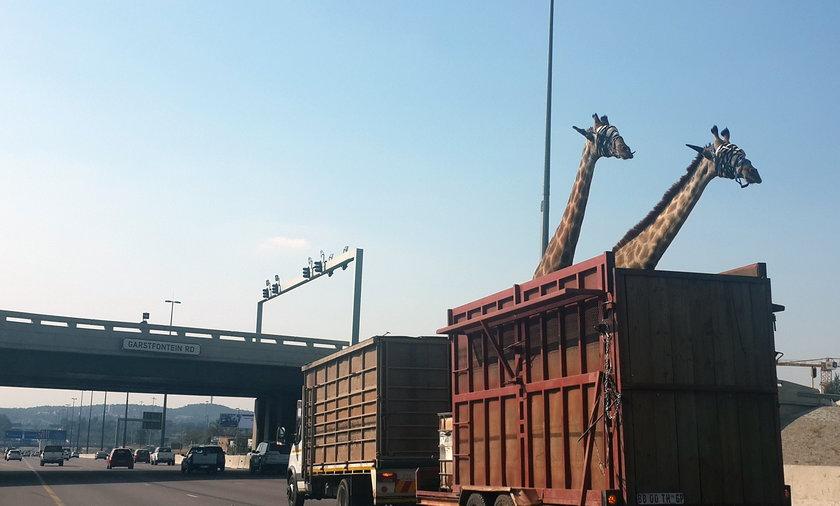 Żyrafa uderzyła głową w most
