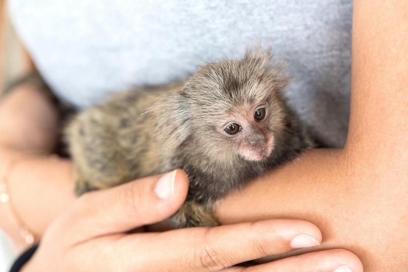 Warum Affen Nicht Als Haustiere Gehalten Werden Sollten