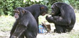 Małpy sprytniejsze od ludzi?!