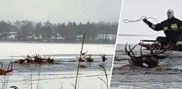 Dramatyczna akcja ratunkowa na jeziorze w zachodniopomorskim. Pod stadem jeleni załamał się lód
