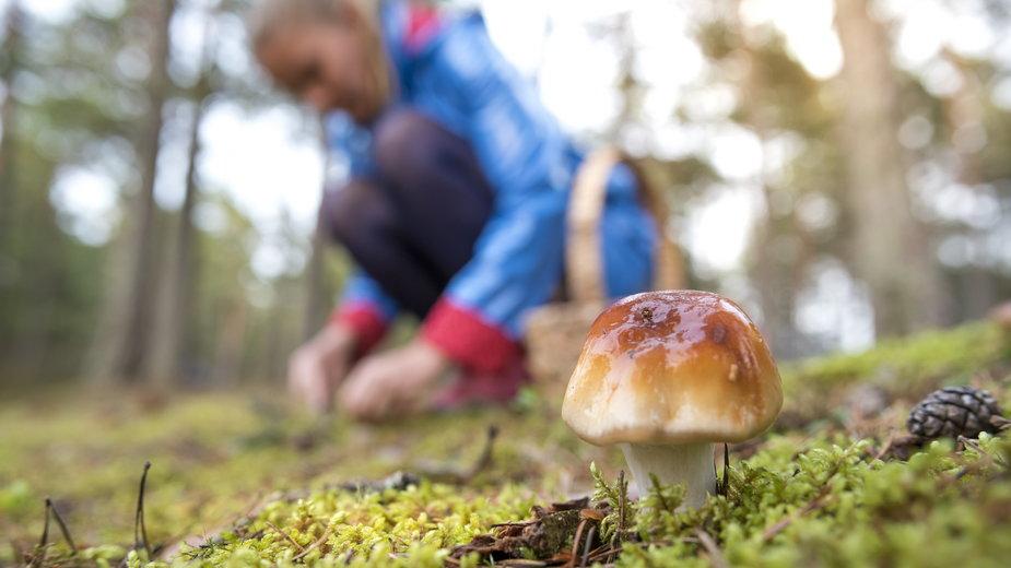 W październiku warto wybrać się do lasu na grzybobranie. W lasach nadal rośnie wiele cennych gatunków grzybów