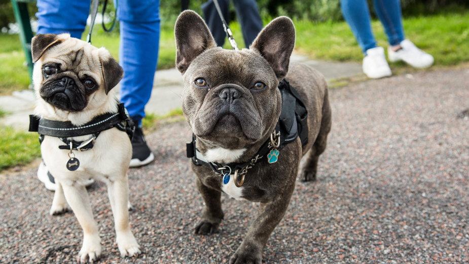 Buldożki i inne psy brachycefaliczne powinny mieć dłuższe pyski