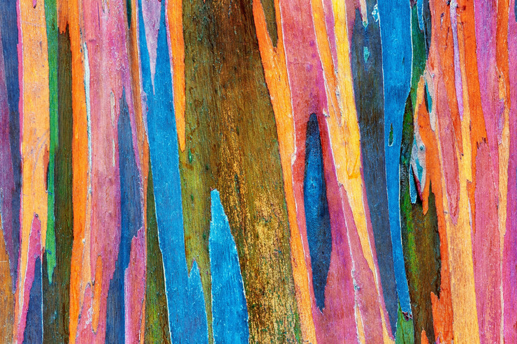 Eukaliptus duga01
