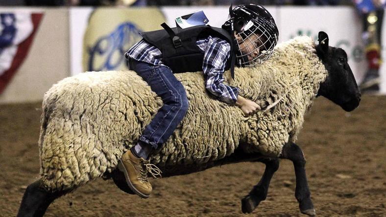 Rodeo na owcach