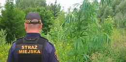 Marihuana zamiast barszczu Sosnowskiego