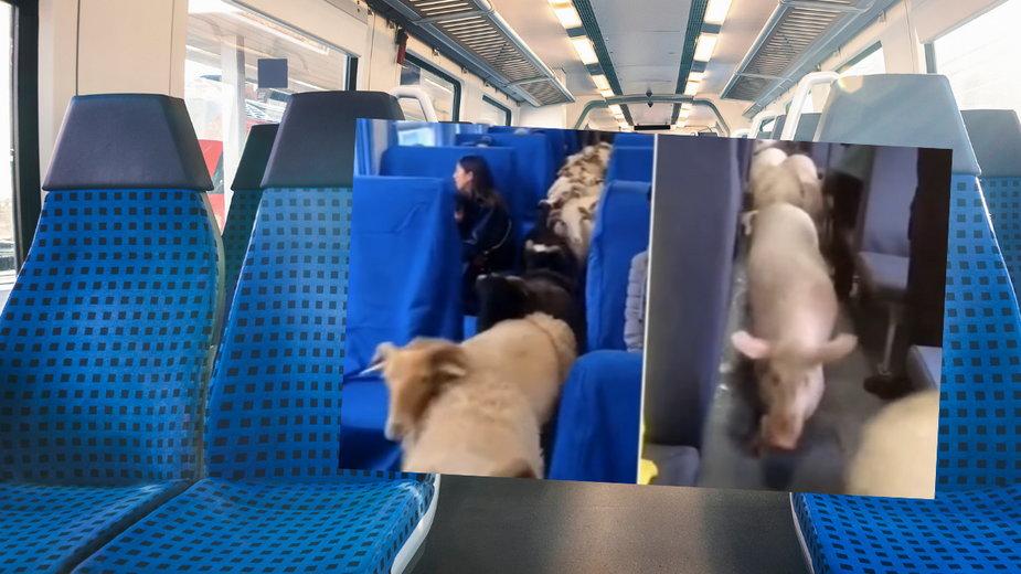 Pociągami w Chinach podróżuje stado bydła
